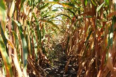 Harvest time of corn farm Royalty Free Stock Image