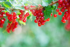 Harvest time, currants Stock Images