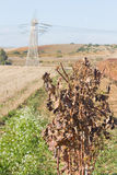 Harvest time - Dry Grapevine Stock Photography