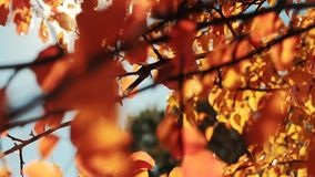 Harvest time golden leaves tree branches sun beam. Harvest time. Golden leaves. Tree branches Sun beams stock footage