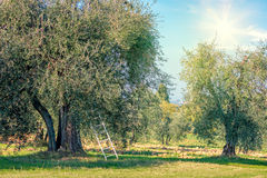 Harvest time  landscape of Olive trees plantation Royalty Free Stock Image