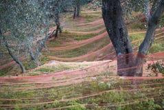 Harvest time in olive garden Stock Photo