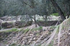 Harvest time in olive garden Stock Image