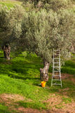 Harvest Time in Olive Tree Garden Royalty Free Stock Image