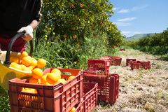 Harvest time. Orange picker at work while unloading a basket full of oranges in a bigger fruit box during harvest season in Sicily Royalty Free Stock Photography