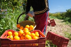 Harvest time. Orange picker at work while unloading a basket full of oranges in a bigger fruit box during harvest season in Sicily Stock Photography