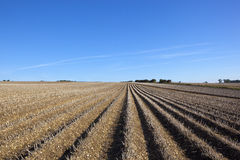 Harvest time potatoes. Potato rows in the yorkshire wolds ready to be harvested in late summer Royalty Free Stock Images