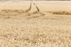 Harvest time - ripe corn. Royalty Free Stock Photo