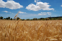 Harvest time - Ripe wheat field. Ripe wheat and blue sky, harvest time in Spain royalty free stock photo