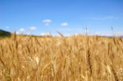 Harvest time - Ripe wheat field Royalty Free Stock Photography