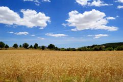 Harvest time - Ripe wheat field Royalty Free Stock Photos