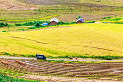 Harvest time on ripen rice terraces of the H'mong minority people in Y Ty, Lao Cai, Vietnam. Royalty Free Stock Photo