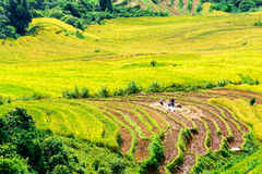 Harvest time on ripen rice terraces of the H'mong minority people in Y Ty, Lao Cai, Vietnam. Stock Photos