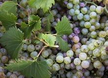 Harvest time, Stack of fresh white grapes, Chianti Region, Tuscany, Italy Stock Photo