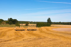 After harvest. Harvest time in the Swedish countryside. Straw bales on trailers ready for transport from the field in the end of sommer Stock Image