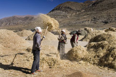 Harvest Time - Tibet - Gyantse Royalty Free Stock Image