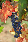 Harvest time in the vineyard Stock Photography