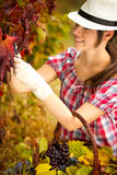 Harvest time in the vineyard Royalty Free Stock Photography