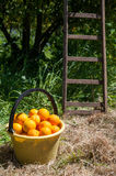 Harvest time. A yellow pail full of oranges and the bottom of a wooden ladder in a groove royalty free stock photography