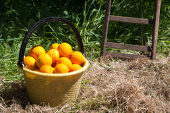 Harvest time. A yellow pail full of oranges and the bottom of a wooden ladder in a groove royalty free stock image