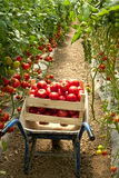 Harvest of tomatoes in the garden. Tomato-garden-agriculture Stock Photos
