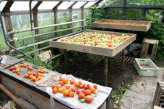 Harvest tomatoes Royalty Free Stock Photography
