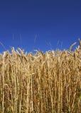 Harvest (usefull background). Wheat ready for harvest (DEnmark Stock Photo