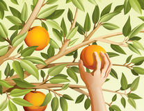 Harvest. Vector illustration of harvest peaches Stock Photography