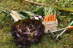 Harvest of vegetable Royalty Free Stock Photo