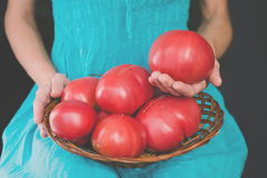 Harvest of a very large farmer`s tomatoes in a woven wooden plate in hands of young woman Royalty Free Stock Photo