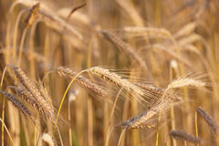 Harvest - very sharp and detailed Royalty Free Stock Image