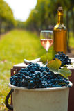 Harvest of vine. Bucket full of grapes on the vine harvest Royalty Free Stock Photography