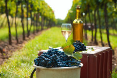 Harvest of vine Royalty Free Stock Image