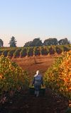 Harvest in the Vineyard. Woman carrying two buckets of grapes down a vineyard row in the early morning Royalty Free Stock Photos
