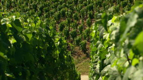 Harvest on vineyard in France stock video footage