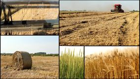 Harvest ..wheat ,barley ,grain..harvest .agriculture field multi screen stock video footage
