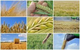 Harvest of wheat - collage. Collage of cereal growing and harvest royalty free stock photo
