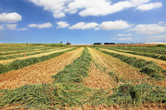 Harvest of wheat in the kibbutz fields Royalty Free Stock Photos