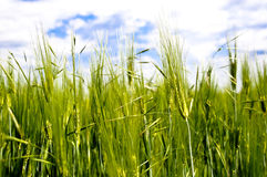 Harvest. Wheat, which matures on a bright field under blue sky with clouds Stock Image
