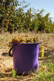 Harvest of white grape Stock Photography