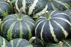White-green pumpkin. Harvest of white-green beautiful striped pumpkins royalty free stock images