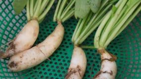 Harvest white radish. The Harvest white radish, Harvest white radish stock footage