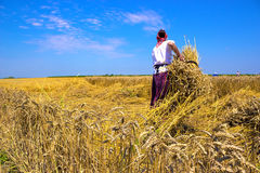 Harvest. Woman working in a field of wheat,  photography Stock Images