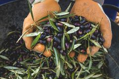 Harvest worker hands with picual olives. Detail of black picual olives just harvested royalty free stock photos