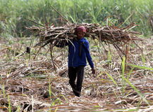 Harvest. The workers lifted cutting cane harvested in an orchard in Karanganyar, Central Java, Indonesia, Cane-sugar is then processed into sugar in sugar Stock Images