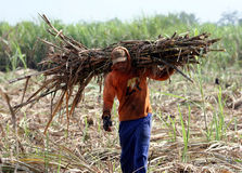 Harvest. The workers lifted cutting cane harvested in an orchard in Karanganyar, Central Java, Indonesia, Cane-sugar is then processed into sugar in sugar Royalty Free Stock Photography