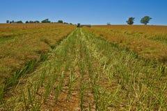 Harveste Canola i rader Royaltyfri Fotografi