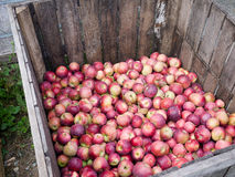 Harvested Apples Royalty Free Stock Photo