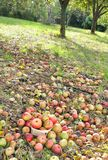 Harvested apples for cider production Royalty Free Stock Images