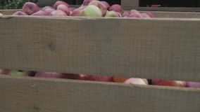 Harvested apples in wooden box crate in orchard tree alley in autumn farm plantation.  stock footage